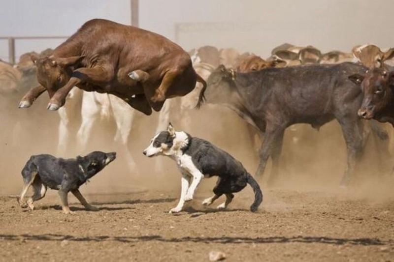 Даже среди коров есть гимнасты. в нужный момент, прикол, юмор