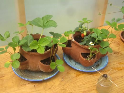 Клубника выращиваемая в горшках