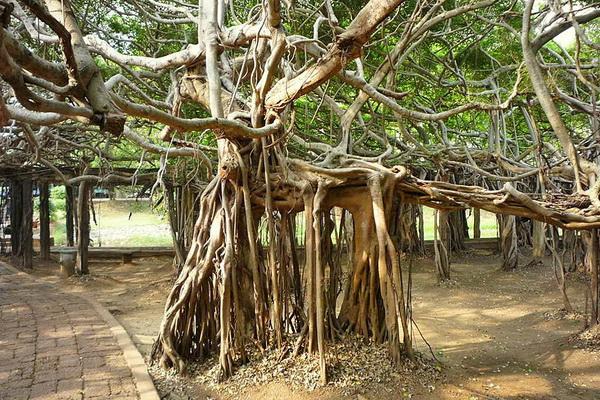 * ilex aquafolium - english holly * tree, bush!!