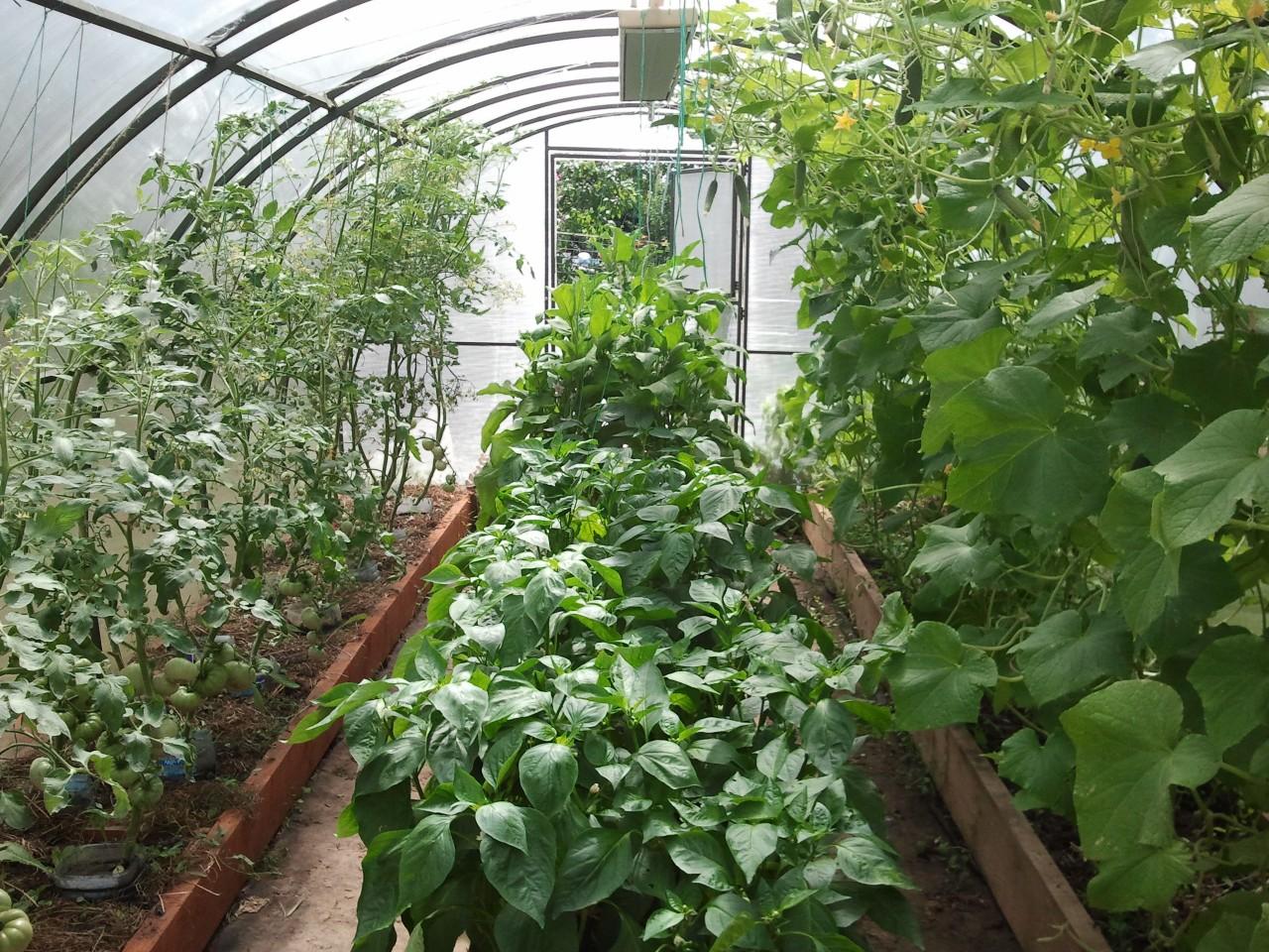 Перец и баклажаны в одной теплице с помидорами и огурцами 95