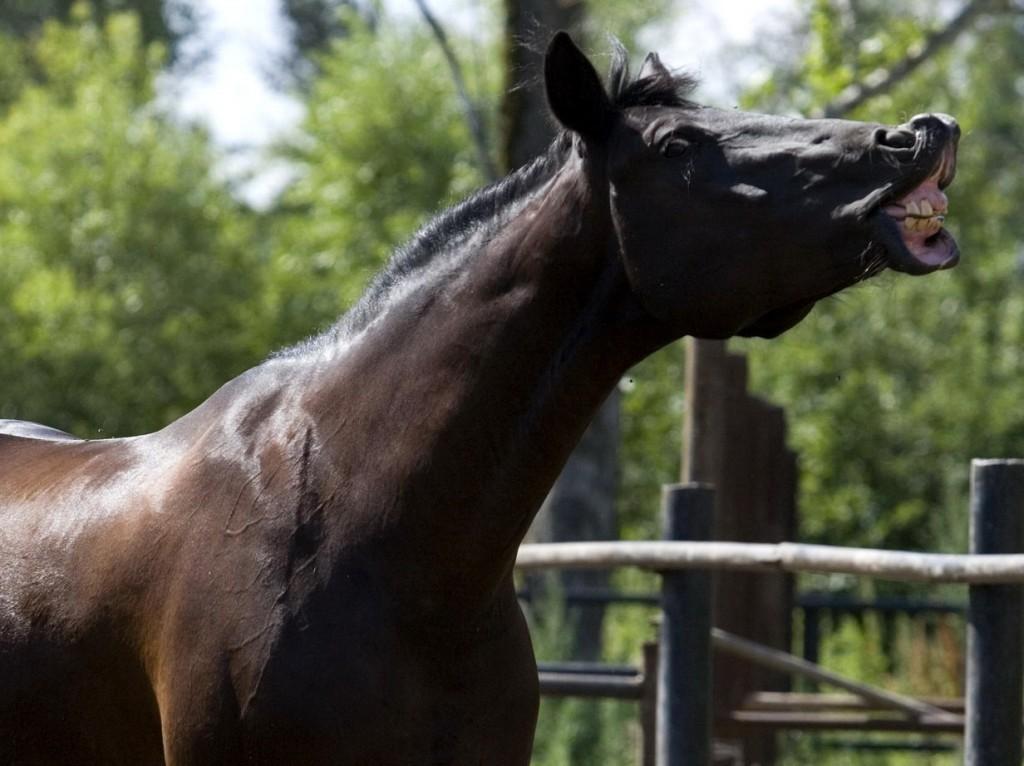 Лошадь с поднятой губой
