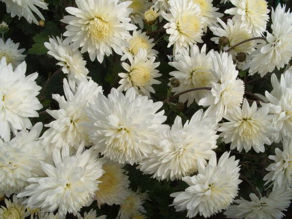 Хризантема сорт Вера