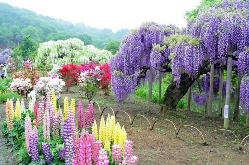 Глицинии в японском саду цветов Кавати Фудзи. Фото