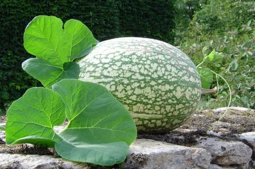 Тыква фиголистная: новый овощ на приусадебном участке