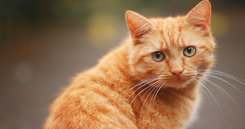 Рыжий ласковый кот снимает политическое напряжение