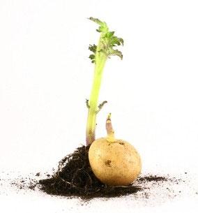 «Умная» грядка — сажаем картофель по траве