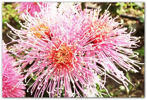 Крупноцветковый сорт Kiko.
