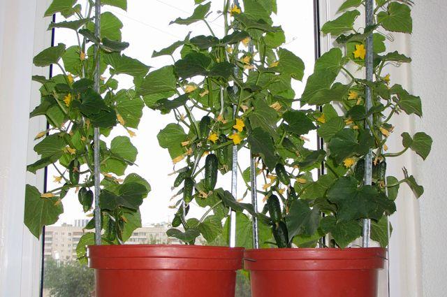 Городской огурчик. Выращиваем овощи на балконе