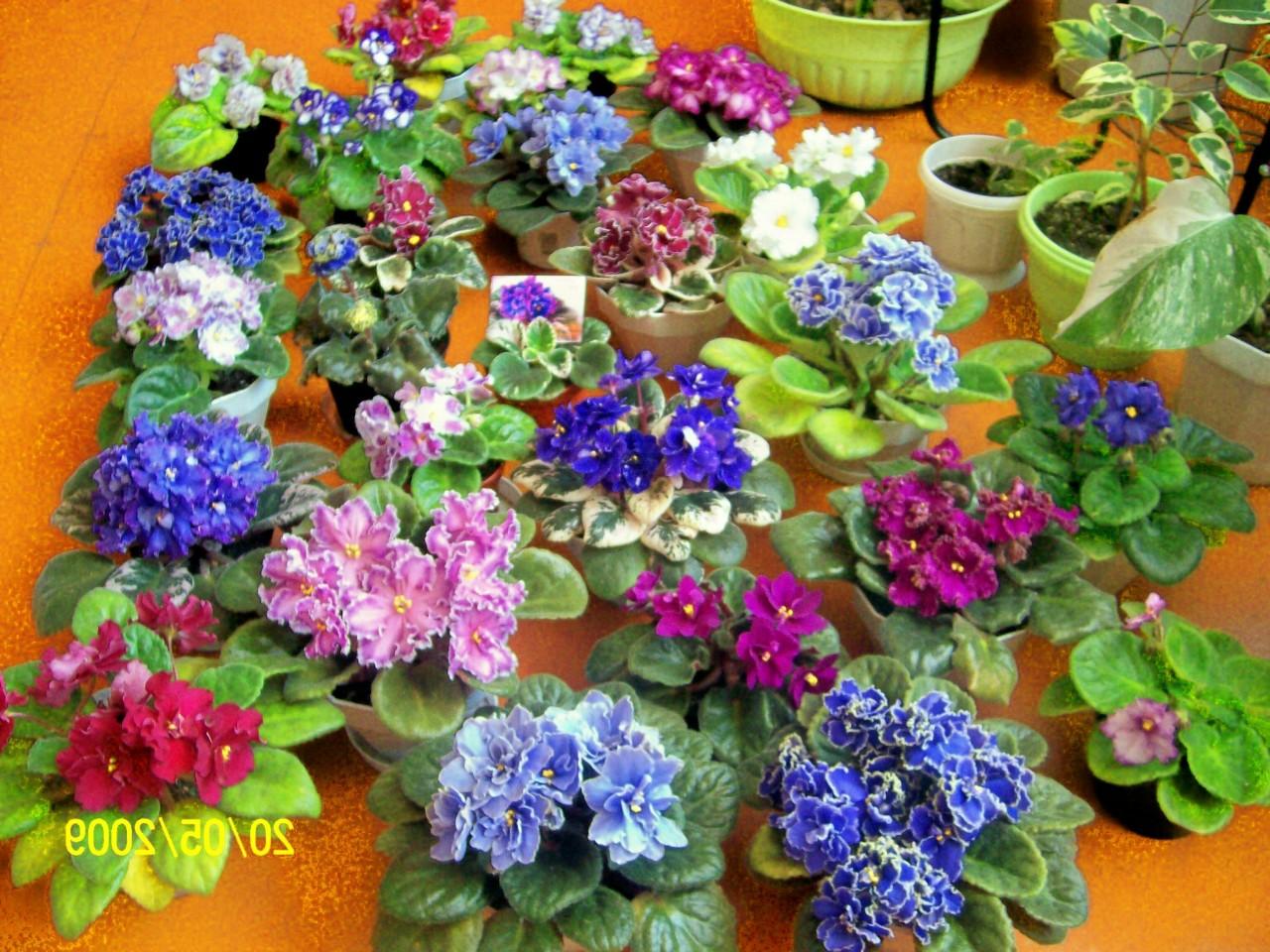 Домашняя Фиалка - 72 фото лучших декоративных комнатных цветов 49