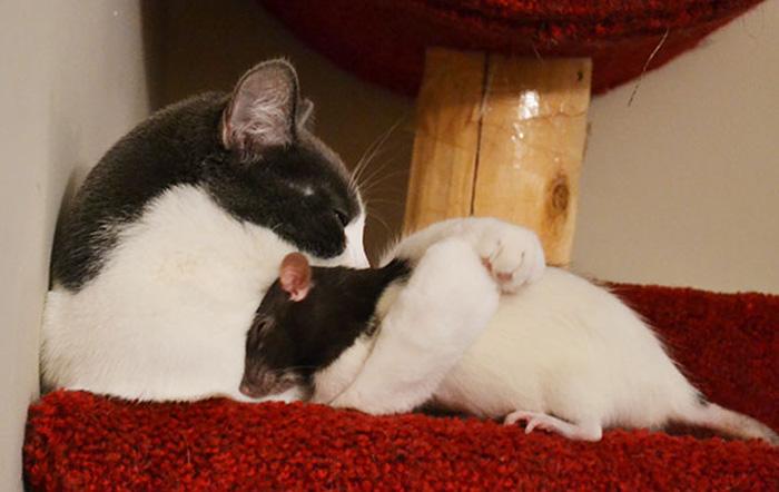 Кошка с крысой.