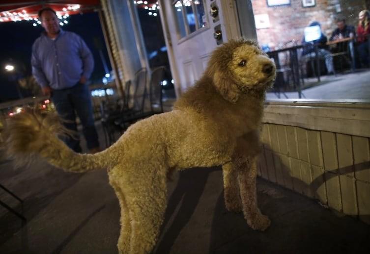 """6. """"Ладно, если я порычу как лев, ты меня покормишь?"""" Животные без шерсти, бедные животные, груминг, нелепость, подстригли, стрижка собак, стрижки, хозяева животные"""