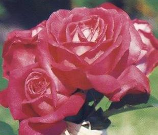Чайногибридная роза