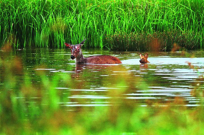 dhole2 Тайский заповедник дикой природы Phu Khieo