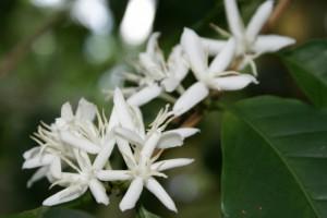 цветы кофе