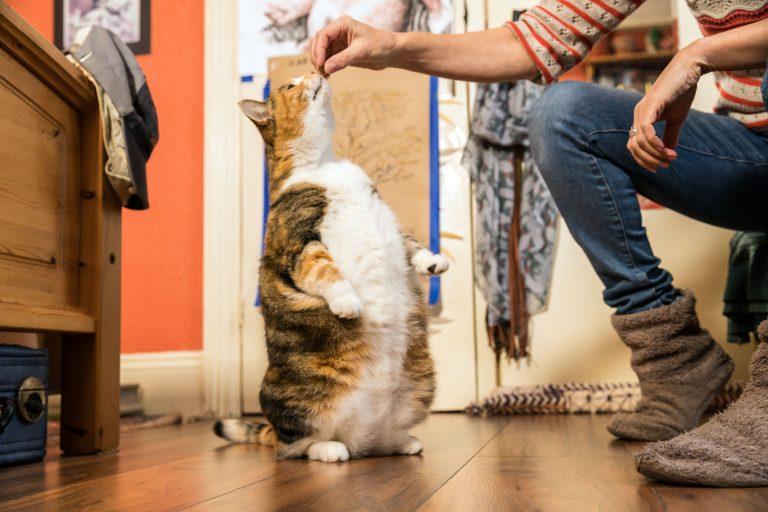 Перекормленная кошка из прию…