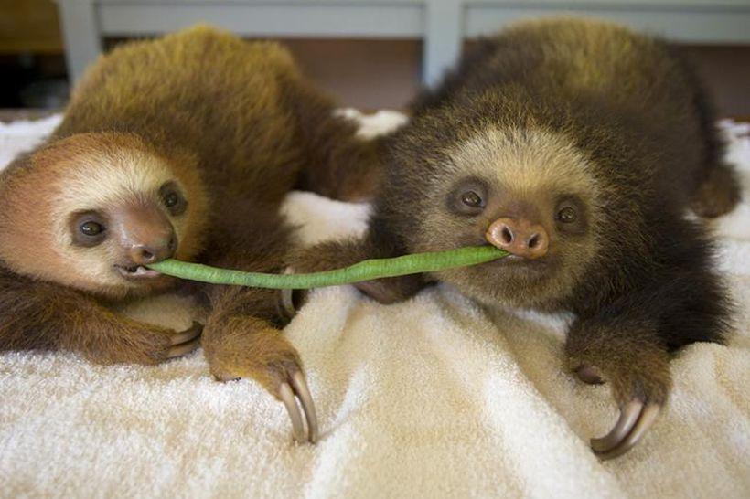 Заказник ленивцев в Коста-Рике