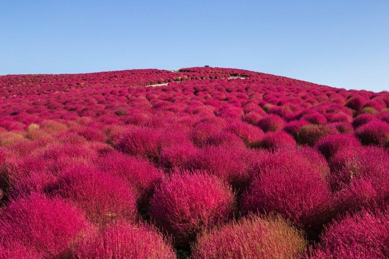 Цветущий Холм Кохия в Японии