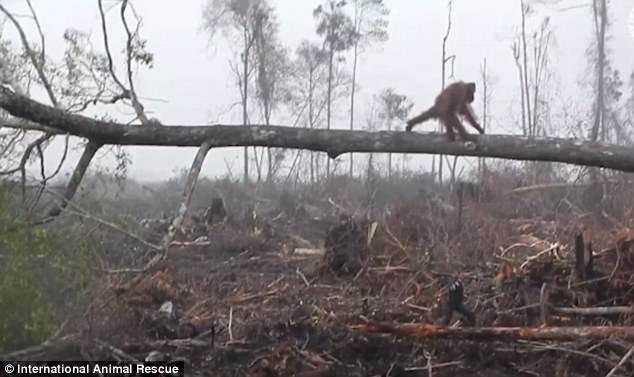 Спасая свой лес от двуногих вредителей, орангутанг подрался с экскаватором.