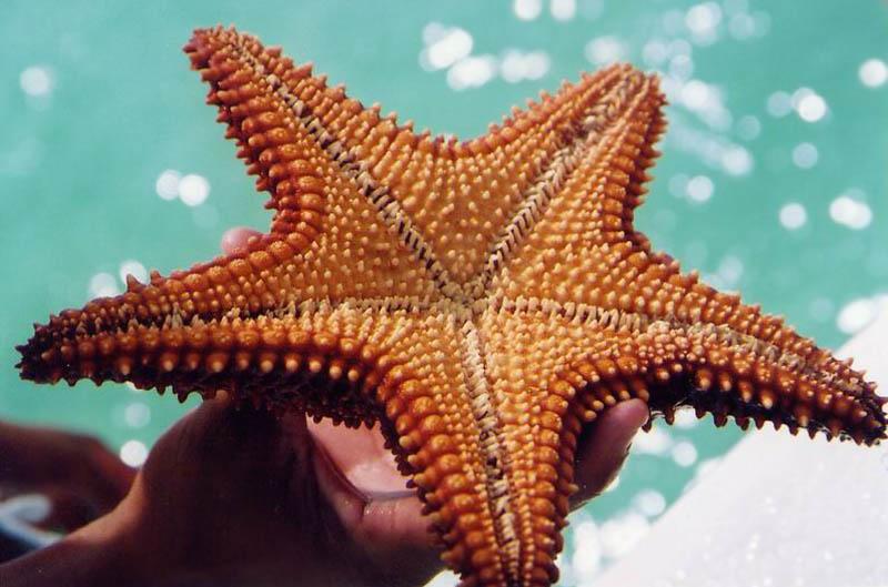 Удивительные факты о морских звездах
