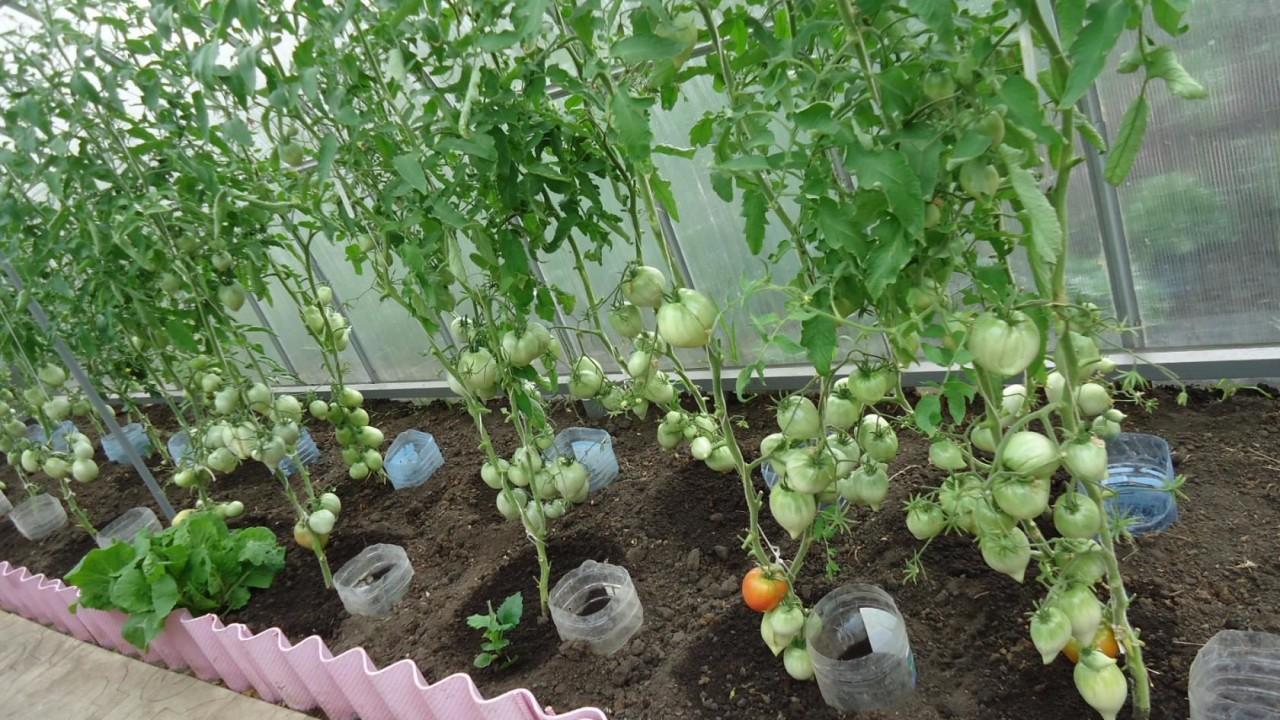 Можно ли помидоры сажать вместе с перцами 773
