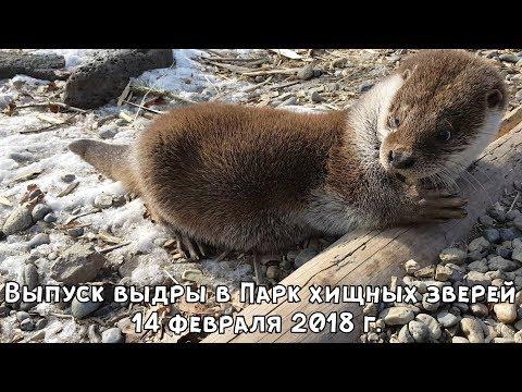 Спасённая от истощения выдра Зубарик подружилась с грозными хищниками в Приморье