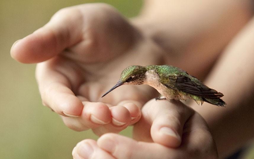 Интересное о колибри