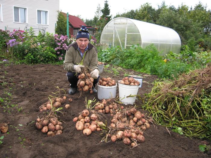 С каждого куста картофеля - по два ведра урожая