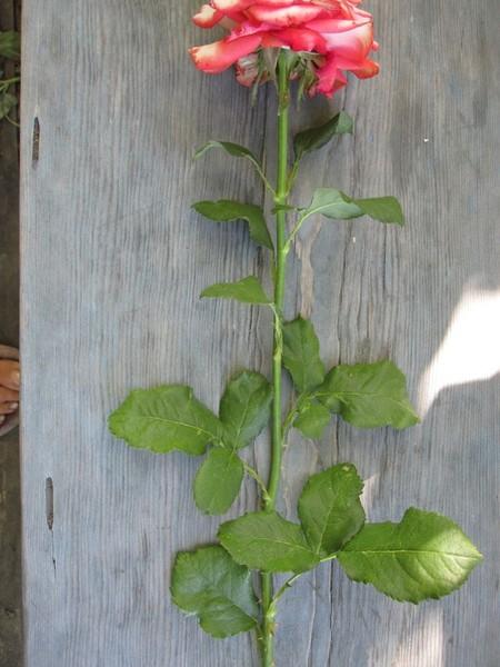Выращиваем розы из зеленых черенков