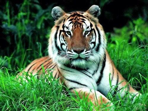 картинки на рабочий стол тигры № 512117  скачать