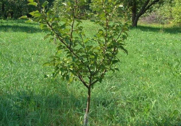 Молодые яблони: поможем отстающим