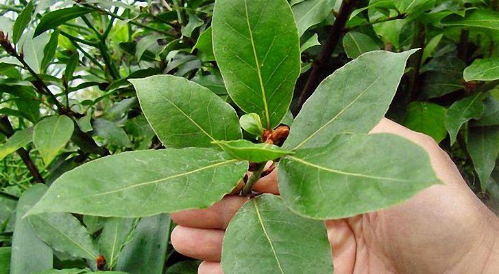 Лавровый лист — лечение и свойства полезного растения
