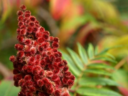 Соцветие Сумаха оленерогого