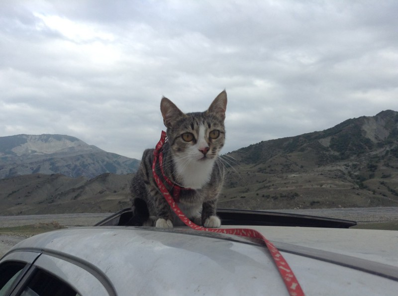 Кошка - путешественница животные, коты