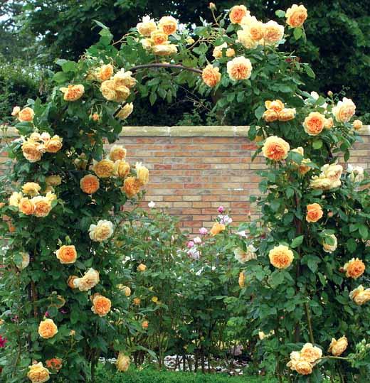 правильно подвязанный куст плетистой розы
