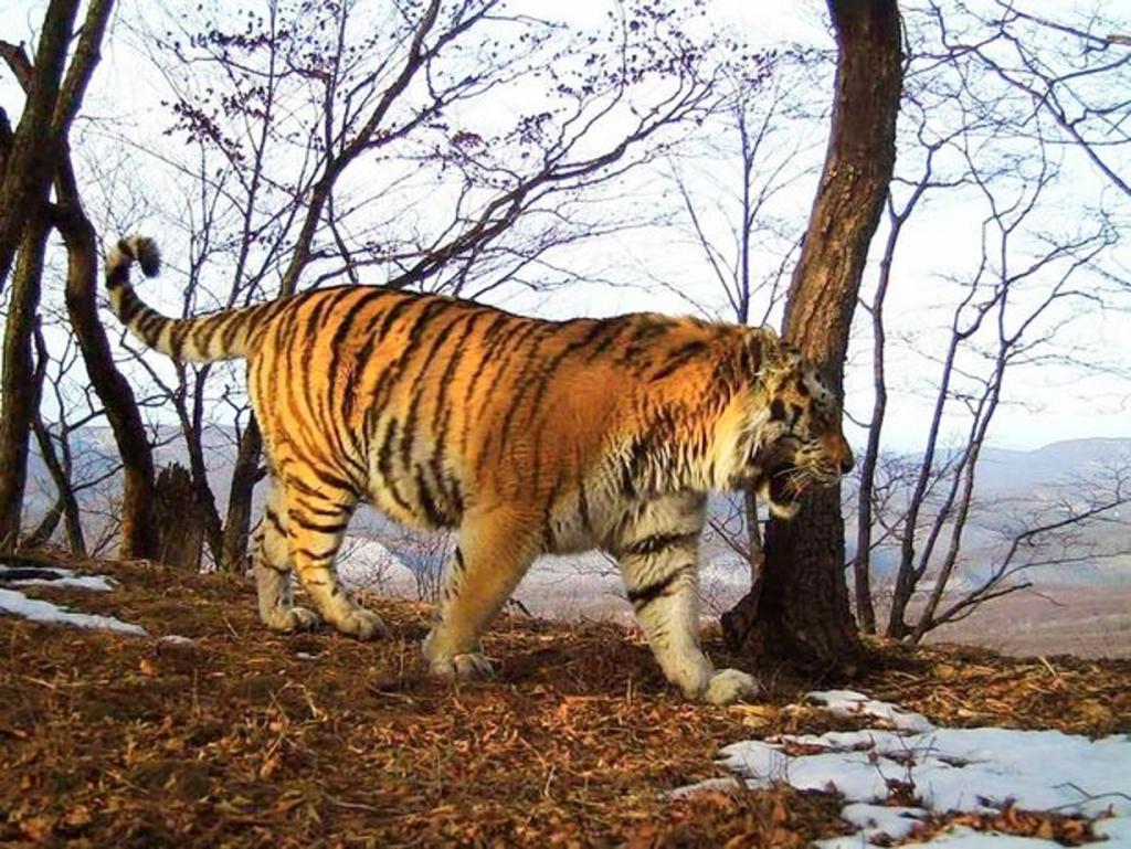 Нетипичное поведение амурского тигра: альфа-самец Тихон пришел к пограничникам, чтобы попросить о помощи