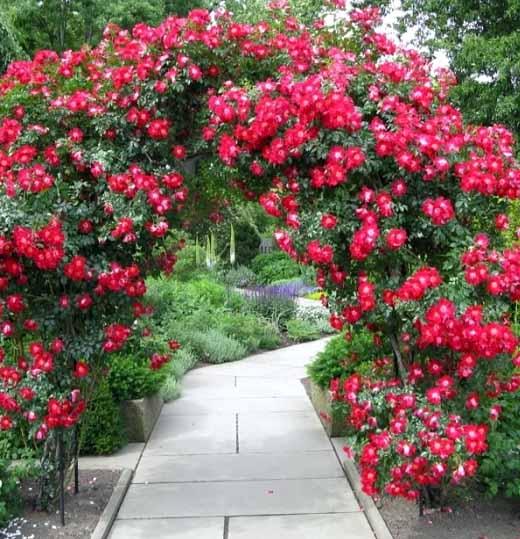 как правильно подвязать плетистую розу