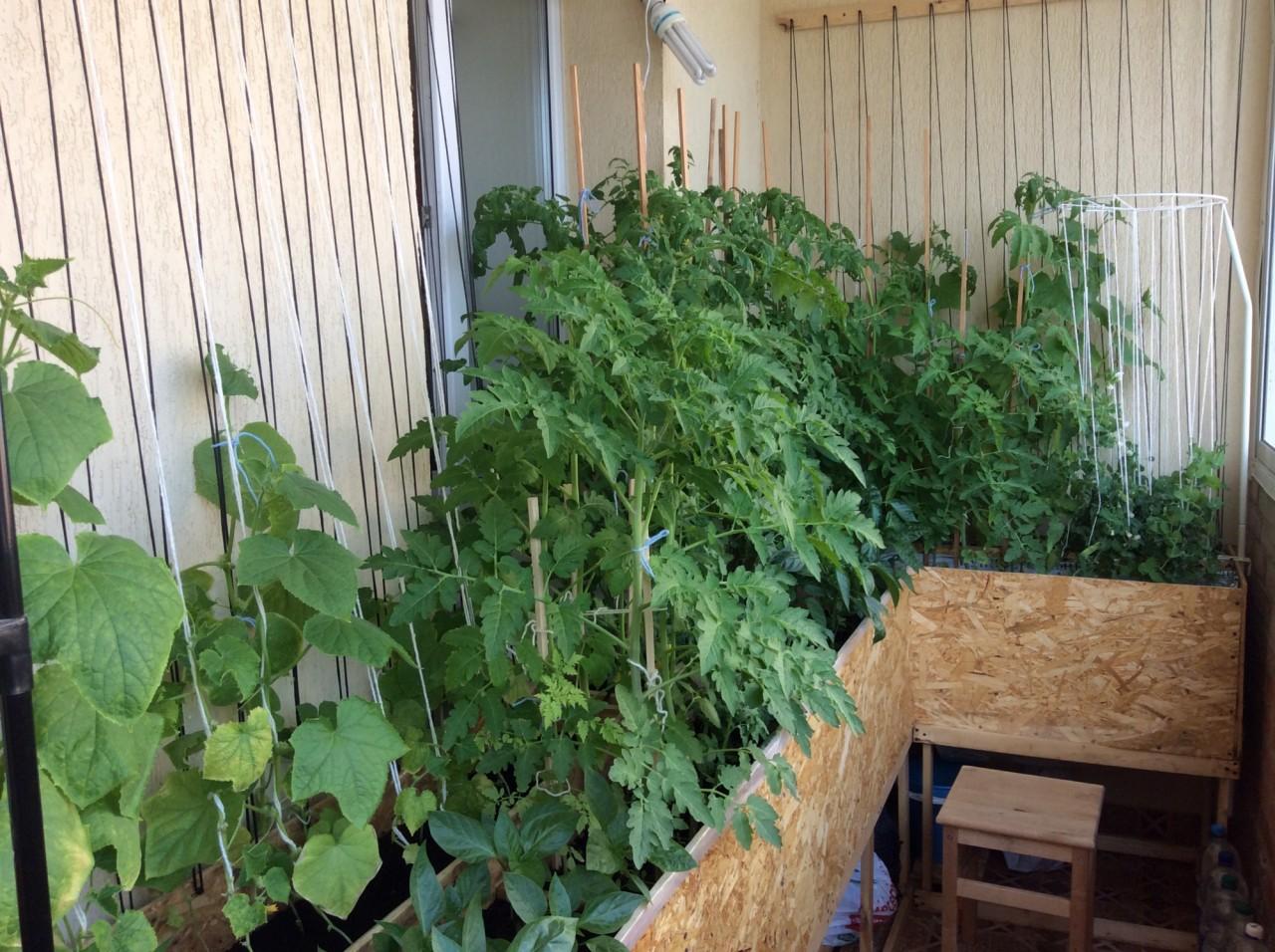 Зелень на балконе зелень, оранжерея на балконе, рассада