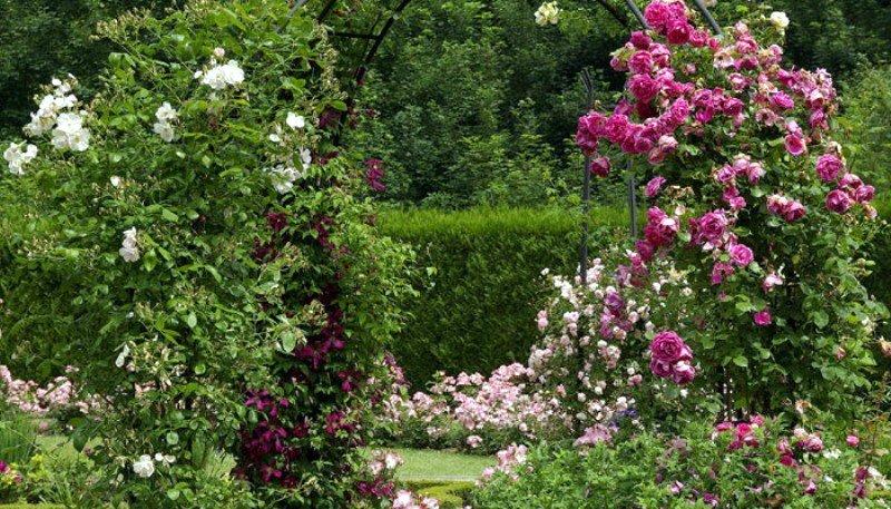 Розы в вашем саду: где лучше разместить