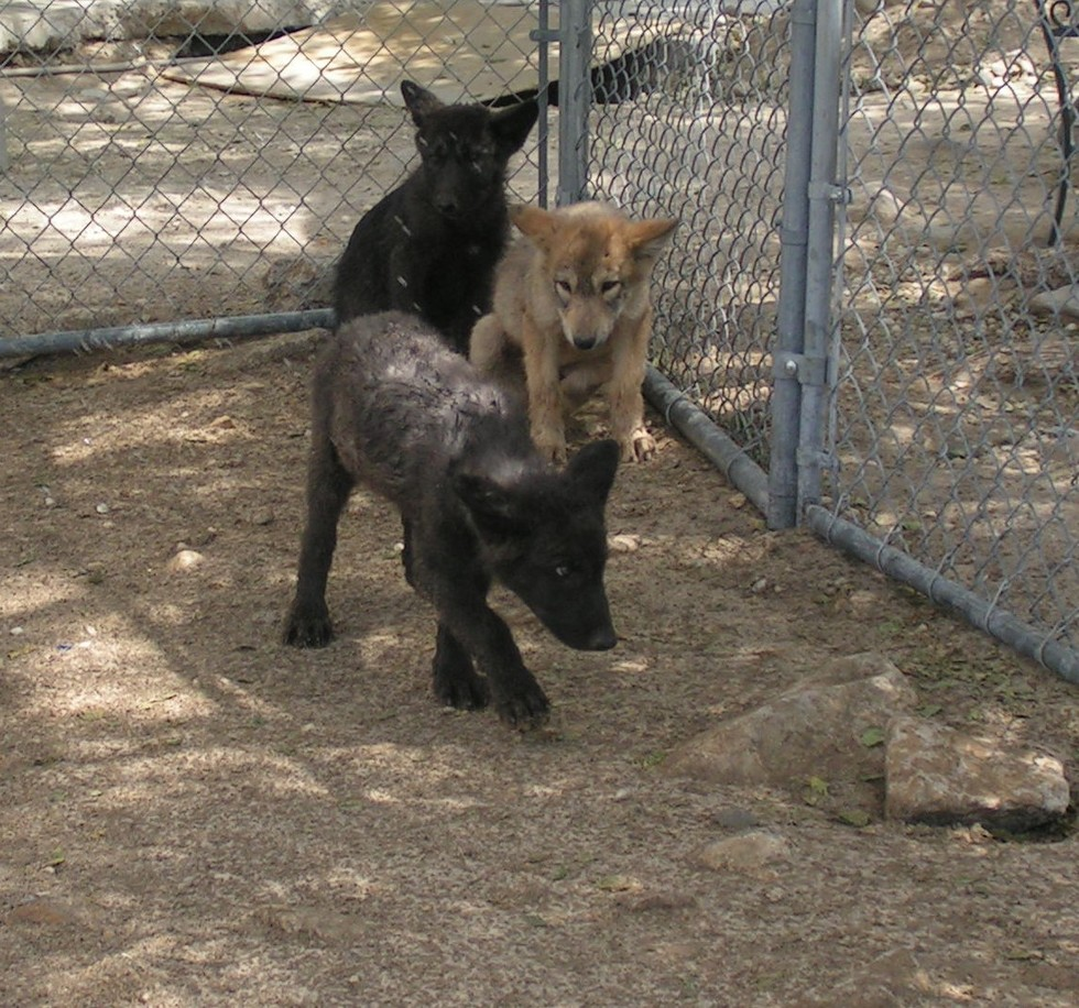 Трое волчат были выброшены на улицу в мороз, но их спасла одна добрая женщина