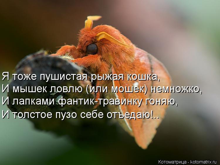 Котоматрица: Я тоже пушистая рыжая кошка, И мышек ловлю (или мошек) немножко, И лапками фантик-травинку гоняю, И толстое пузо себе отъедаю!..