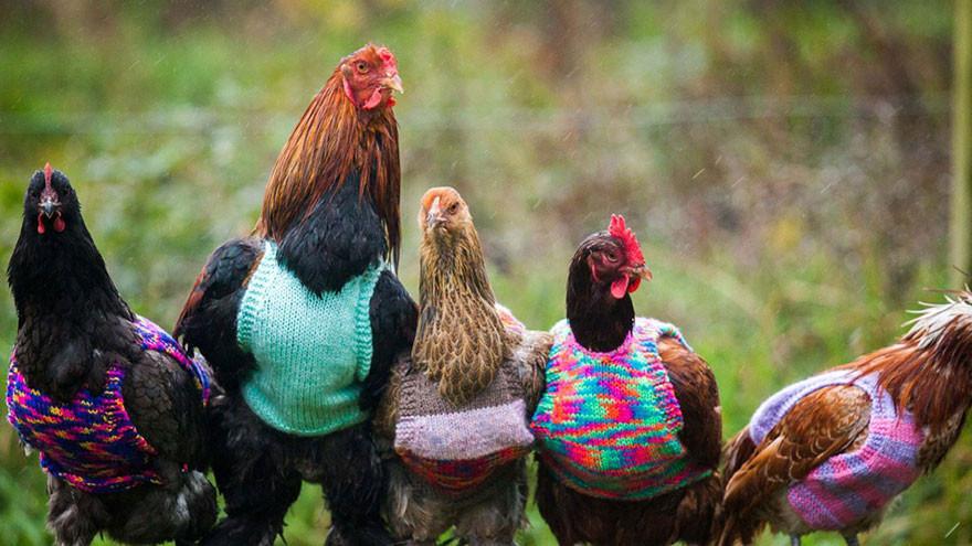 Англичанки вяжут жилеты для пожилых курочек