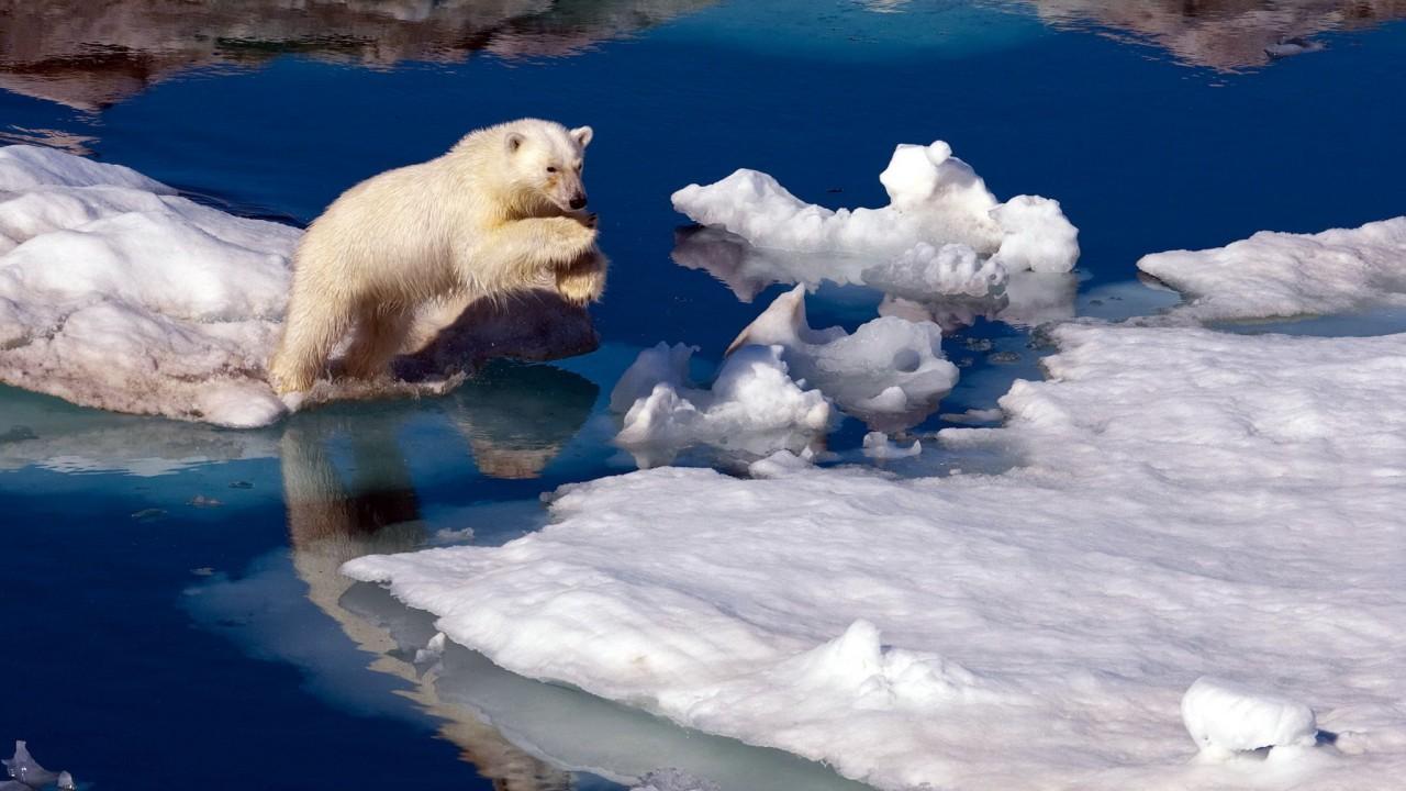Полярные медведи резвятся и кувыркаются на снегу в Калифорнии