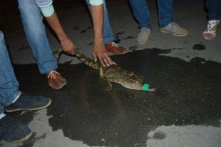В Рязани спасли раненого крокодила и теперь ищут ему хозяев