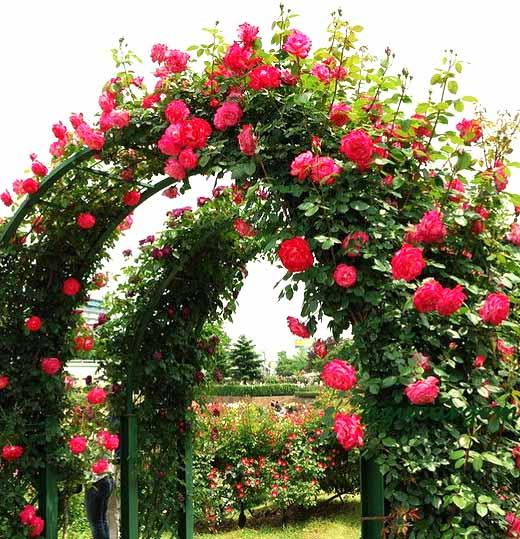 Плетистая роза правильный ух…