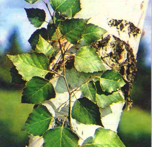 Берёза дерево жизни и здоровья