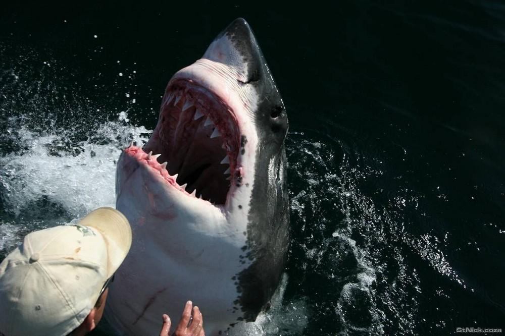 Удивительная история любви белой акулы к человеку животные, история