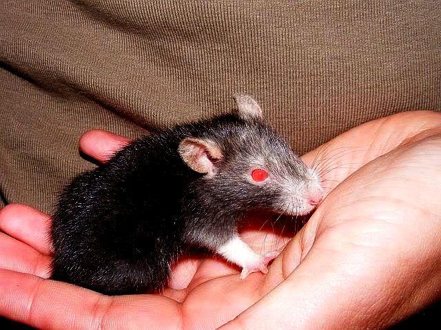 Почему у белых крыс красные глаза