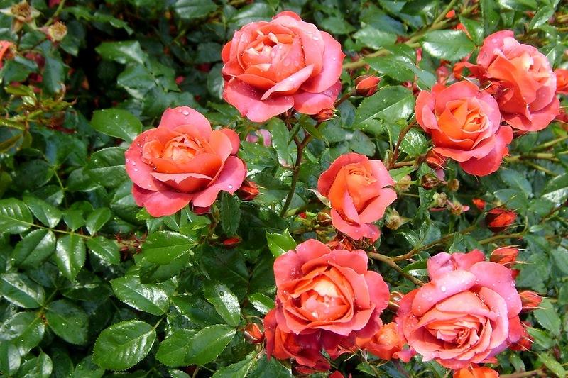Обои Розы Цветы Фото 293301
