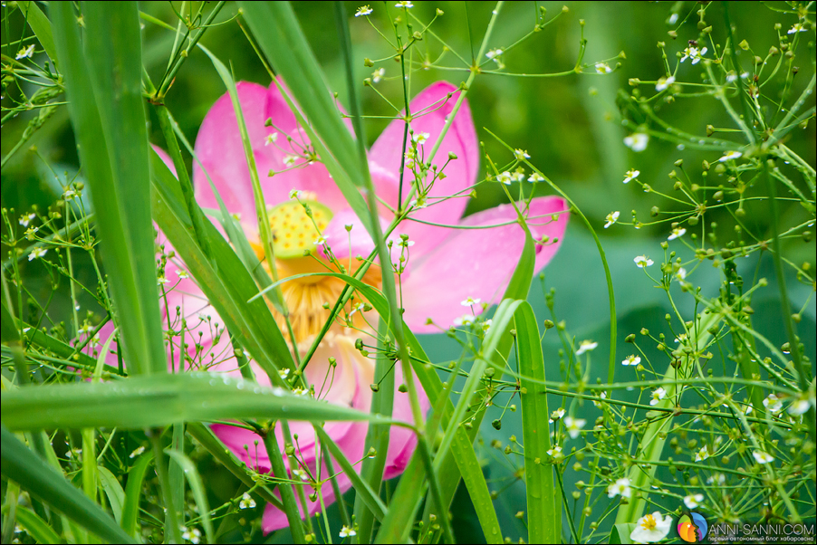 Цветущие лотосы в Хабаровске