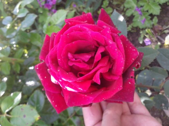 Чайно-гибридные розы. Выращивание и уход.